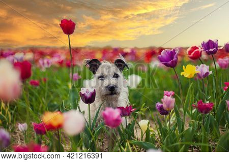 Cute Little Dog Walking In The Garden With Blooming Tulips