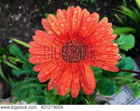 Image Of Barberton Daisy Captured From Home Garden