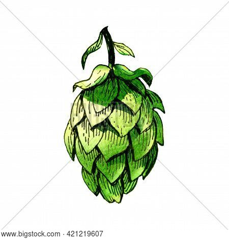 Fresh Green Hop, Brewery Of Beer Production, Close-up Isolated Plant, Isolated, Label Packaging Desi