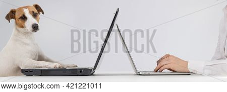 A Woman Is Working On A Modern Laptop, While A Jack Russell Terrier Dog On An Obsolete On A White Ba