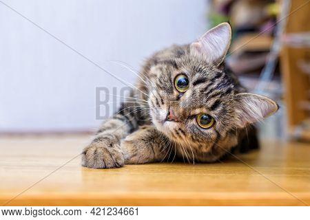Gray Cat Lying On Wooden Floor, Light Background
