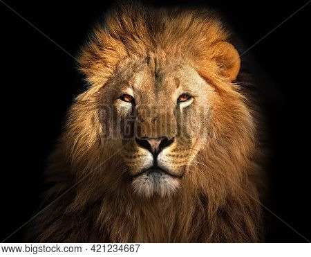 Dominant Lion, Sitting On Black Background, Great Bearing And Appearance