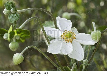 Japanese Anemone (eriocapitella Hupehensis 'honorine Jobert'). Called Japanese Windflower And Japane