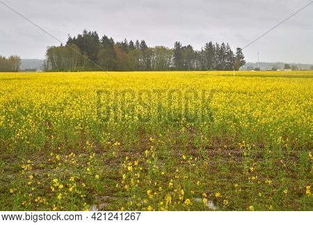 Canola Field In Bloom. A Bright Field Of Canola Also Known As Rapeseed.