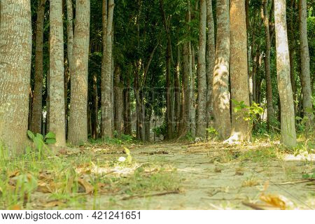 A Biggest Wooden Garden Where Rows And Rows Of Mahogany Trees