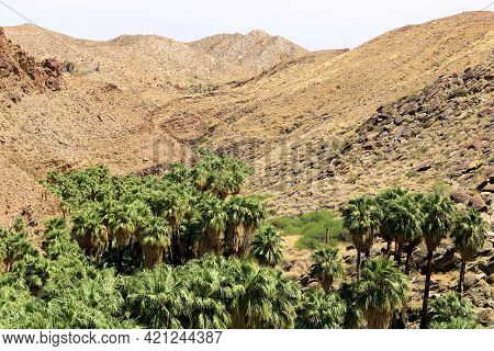 California Fan Palm Trees On A Riparian Creekbed Surrounded By Barren Hills Taken At The Arid Colora