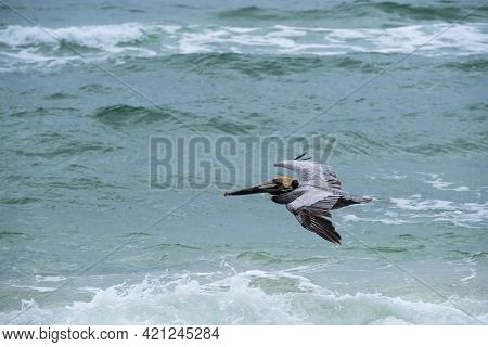 Brown Pelican Flies Above The Surf Of The Gulf Of Mexico