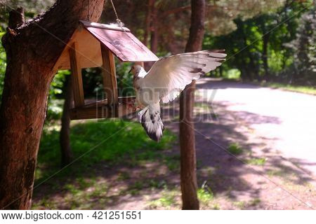Dove Flies Up To The Feeder. Blurred Background. The Feeder Weighs On A Pine Trunk.