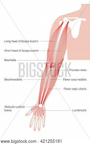 Human Biceps, Triceps Flexor And Other Muscle Of Arms Anterior View. Muscular System Poster. Hand Bo