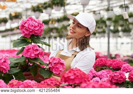 Competent Female Gardener In Cap And Apron Checking And Controlling Growth Of Hydrangea At Greenhous