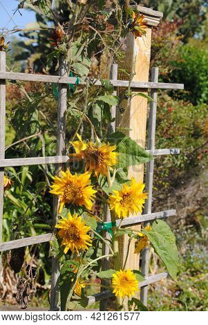A Picutre Of Sunflower, Picture Was Taken In A Garden In Southern California