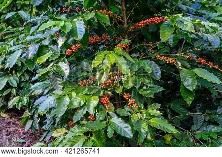 Coffea Tree In Coffee Plantation In Agriculture Farm On Doi Chang, Chiang Rai Province Of Thailand.