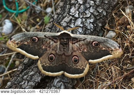 Closeup On The Large European Moths , The  Giant Peacock  Emperor Moth, Saturnia Pyri With Open Wing