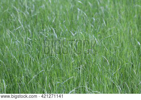 Green Grass Texture. Green Grass Lawn. Green Grass Texture.