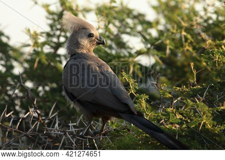The Grey Go-away-bird (crinifer Concolor), Also Known As Grey Lourie, Sitting On The Dry Bush. Morni