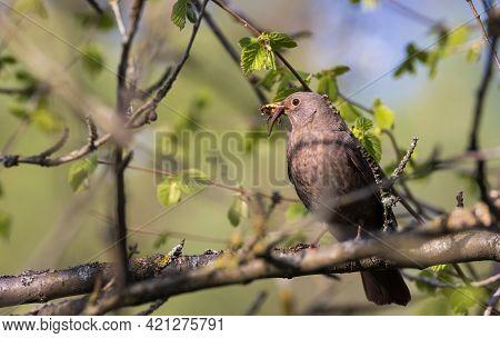 Common Blackbird (turdus Merula) Female On Branch Holding Pray, Podlaskie Voivodeship. Poland, Europ
