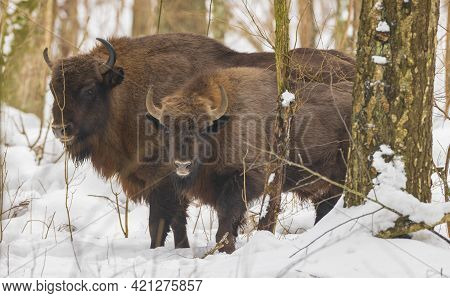 Two Free Ranging European Bison Bulls In Wintertime Forest, Bialowieza Forest, Poland, Europe