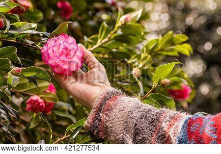 Hand Holding Camellia Flower, Pink Flower, Close Up, Terra Nostra Park, Sao Miguel Island, Furnas Vi
