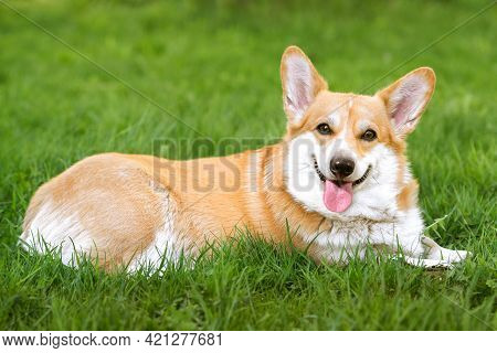 Smiling Pembroke Welsh Corgi Puppy On The Grass Summer Time