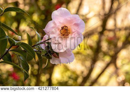 One Camelia Flower, On Tree Branch, In Terra Nostra Garden, Azores.