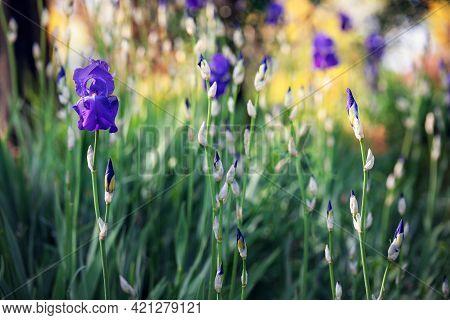 Spring Garden With Purple Iris Flowers (focus On Flower, Bokeh Background) Impressionism Style