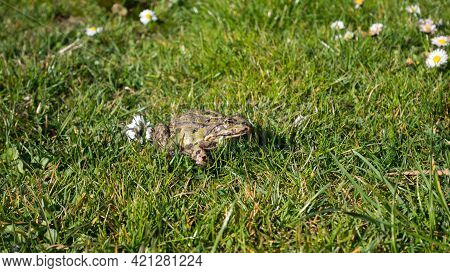Green Toad On The Lawn. Common Toad ( Sapo Comun). Close-up. Frog On A Grass.