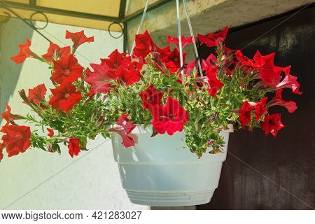 Red Petunia Flowers Hanging In Plastic Pots On Porch Of House
