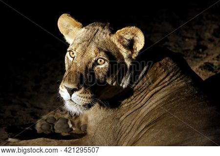 Lioness (panthera Leo) Lying On The Ground, Nighttime. Kruger Park, South Africa'