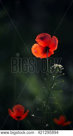 Delicate Red Hue Of Poppy.chic Bokeh.poppy Flowers Are Attractive And Unique.delicate Red Hue Of Pop
