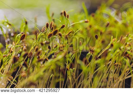 Macro Microgreens. Background Of Microgreen. Dill Sprouts. Green Textural Background Of Natural Gree
