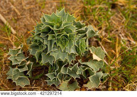 Eryngium Maritimum Or Sea Holly Or Seaside Eryngo Plant