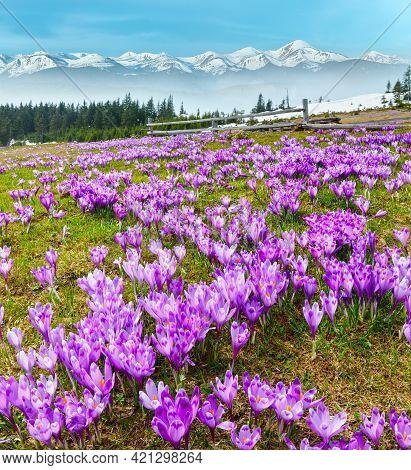 Colorful Blooming Purple Crocus Heuffelianus (crocus Vernus) Alpine Flowers On Spring Carpathian Mou