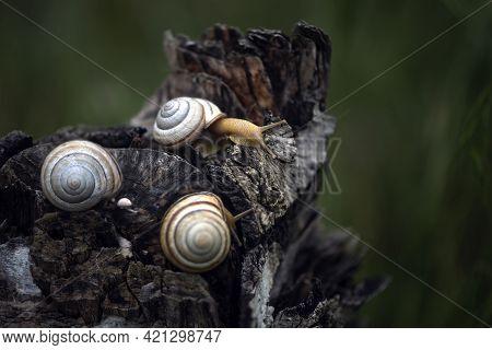 Three Snails On A Tree Stump. Spixies Are Small Snails. Aquarium Snail.