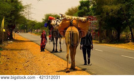 06 May 2021- Reengus, Sikar, India. Herd Of Camels Being Moved Along The State Highway Near Jaipur.
