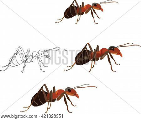 Red Ant White Background Red Ant Nature With White Background