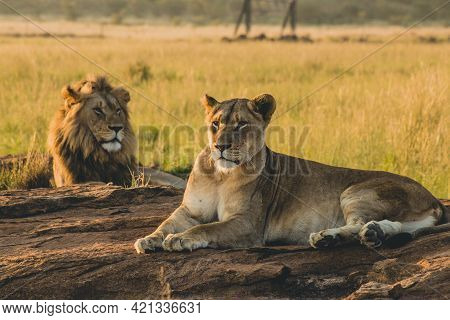 Male And Female Lions Laying On The Sand And Resting In Vast Grasslands