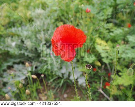 Field Poppy, Wild Poppy, Fire Flower. Papaver Rhoeas Poppy, An Annual Herb, Species Of The Genus Pap