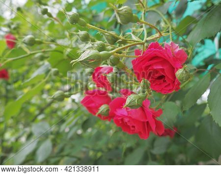 Red Rose. Rose Is A Species Or Variety Of Representatives Of The Genus Rosehip Rosa, Cultivated By H