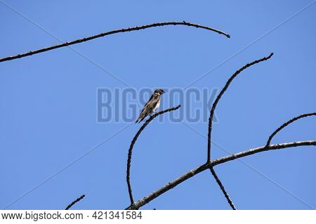 The Sand Martin (riparia Riparia). In  Europe Sand Martin, Bank Swallow, And Collared Sand Martin In