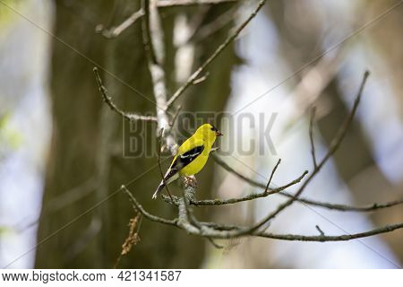 The American Goldfinch (spinus Tristis) Is A Small North American Bird