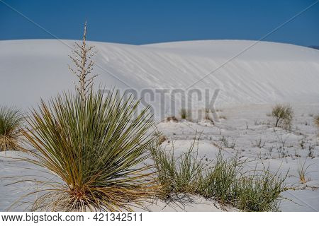 Pretty Soaptree Yucca Plant Grows In The Gypsum Sand At White Sands National Park