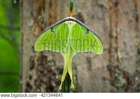 Top View Of A Luna Moth (actias Luna). Raleigh, North Carolina.