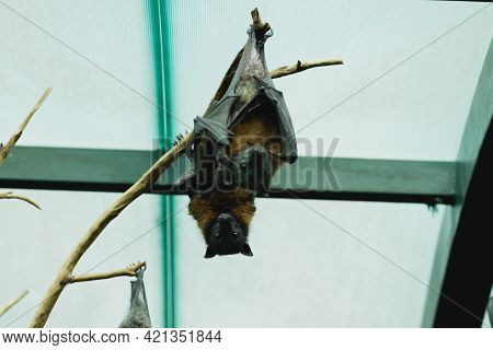 Two Gray-headed Flying Fox Hangs Upside Down, With A Glass Ceiling And Metal Beams In The Background