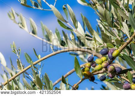 Tuscan olive tree, olives in various stages of ripening, soft focus background