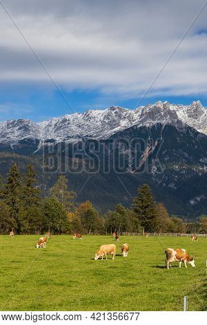 Pasture with cows under Austrian Alps nearby Bischofshofen