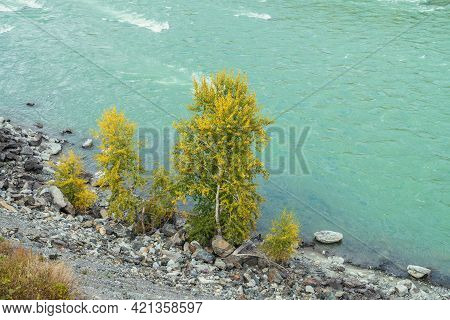 Colorful Autumn Landscape With Golden Leaves On Trees On Shore Of Turquoise Mountain River In Sunshi