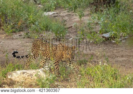 Leopard Or Panther On Stroll At Jhalana Forest Or Leopard Reserve Jaipur Rajasthan India - Panthera