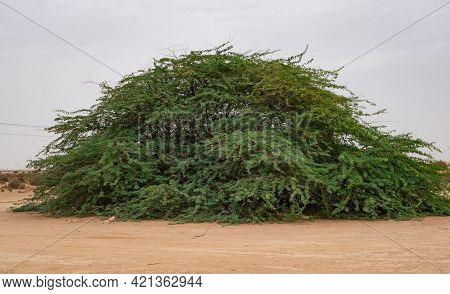 A Lone Prosopis Juliflora Tree In Middle Of A Al Jumayliyah Desert In Qatar. Selective Focus