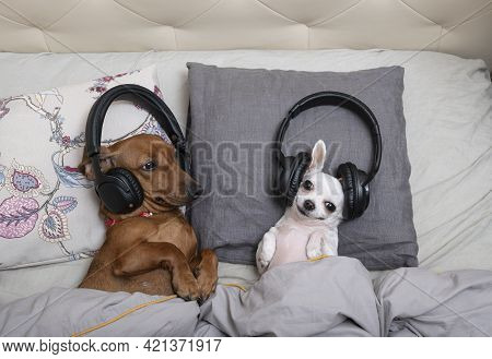 Two Dogs Lying In Bed Are Listening To Music In Black Headphones And A Chihuahua Is Looking At The C