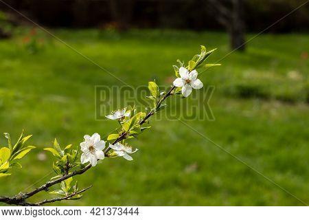Branch Of Myrobalan Plum (prunus Cerasifera) Flowers At Bright Green Garden Background. White Cherry